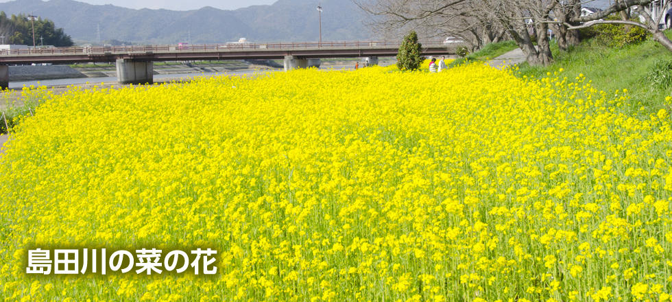 島田川の菜の花
